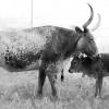 Longhorns 1